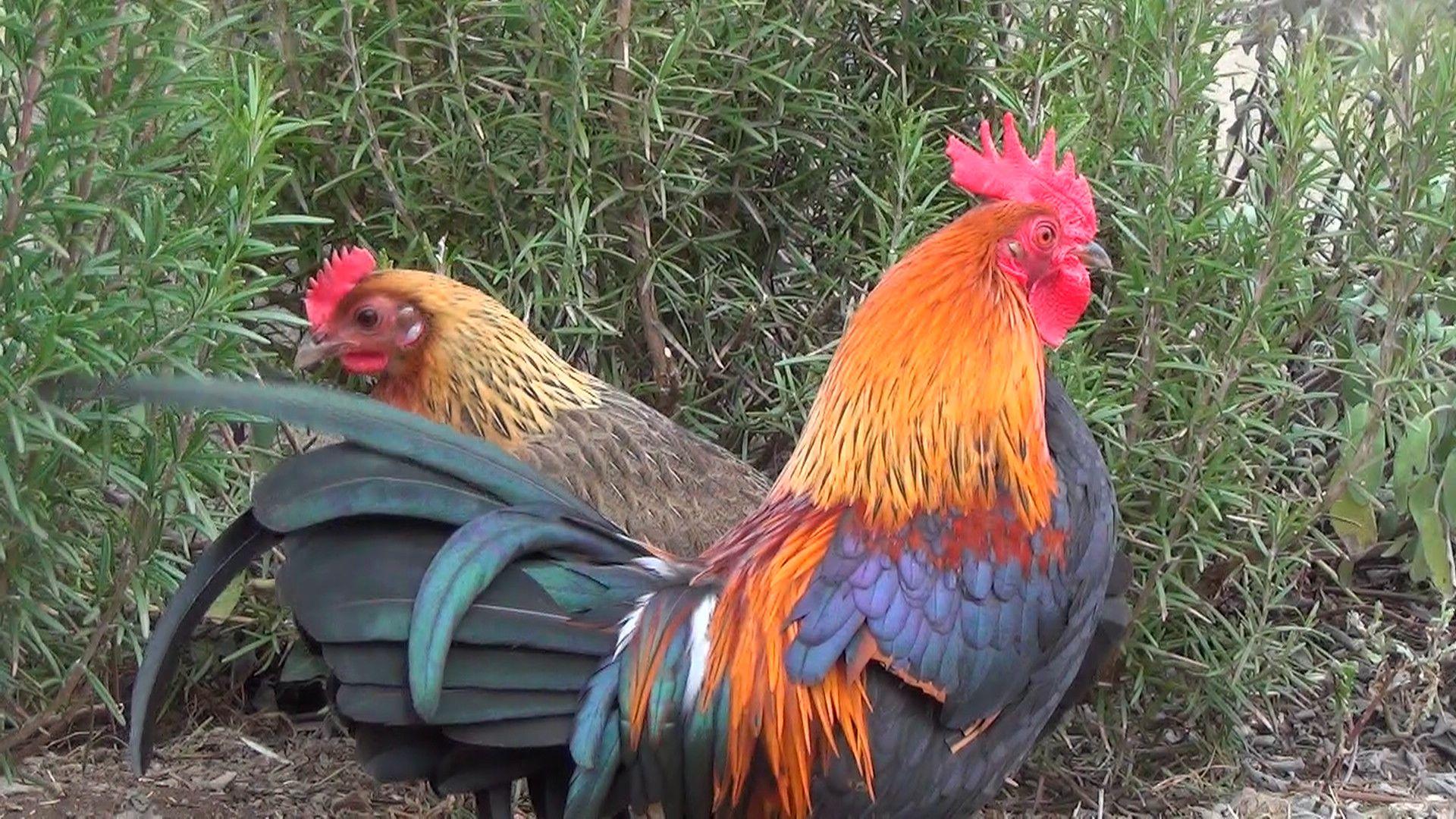poule et coq de race ardennaise dorée