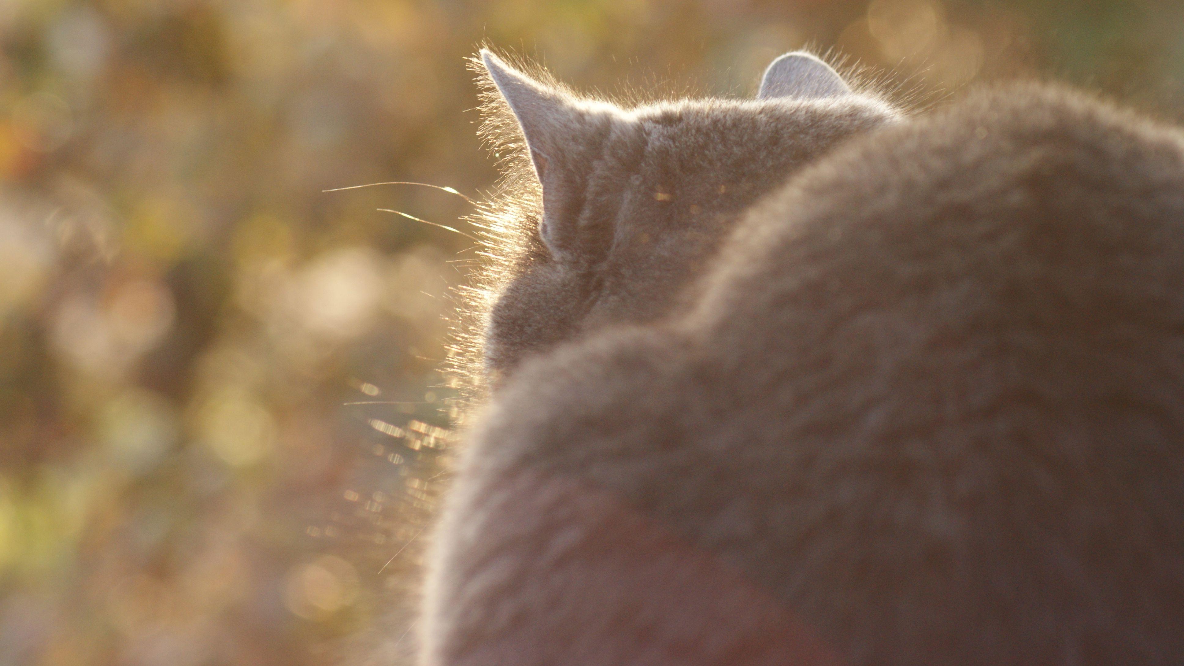 chat gris à contre jour