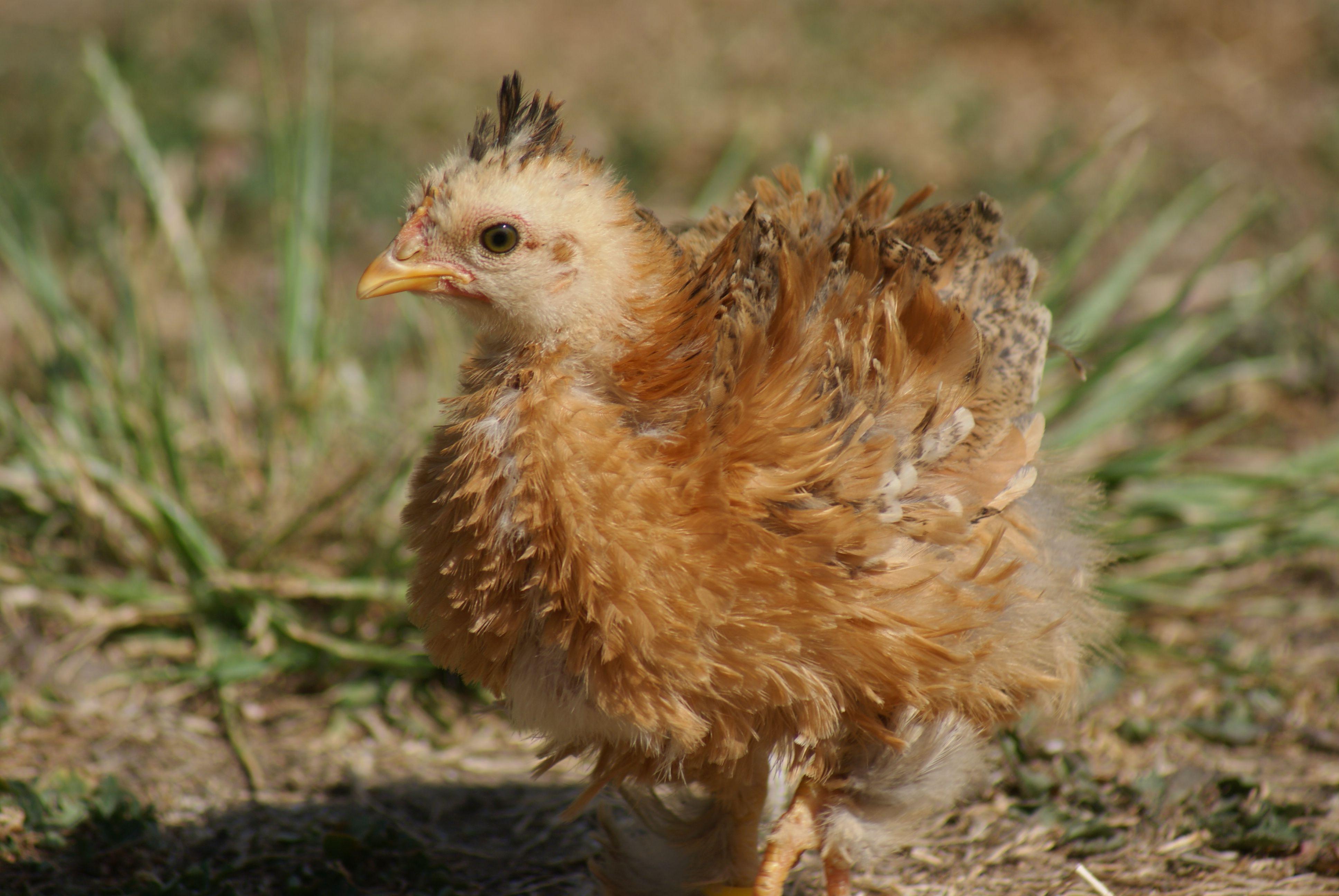 Oeufs poules et poussins coqs aussi for Oeuf de poule mou
