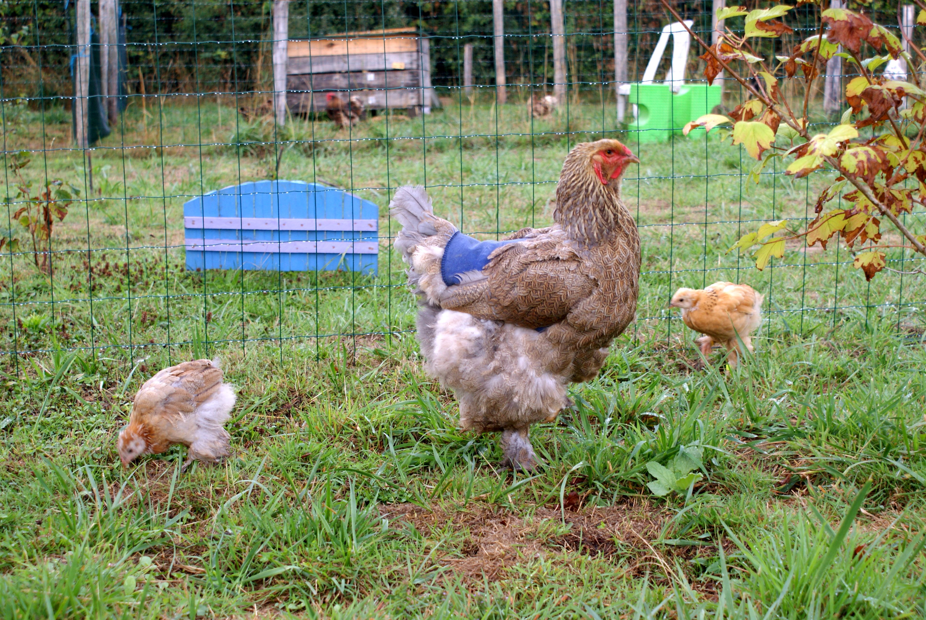 poule brahma pmd