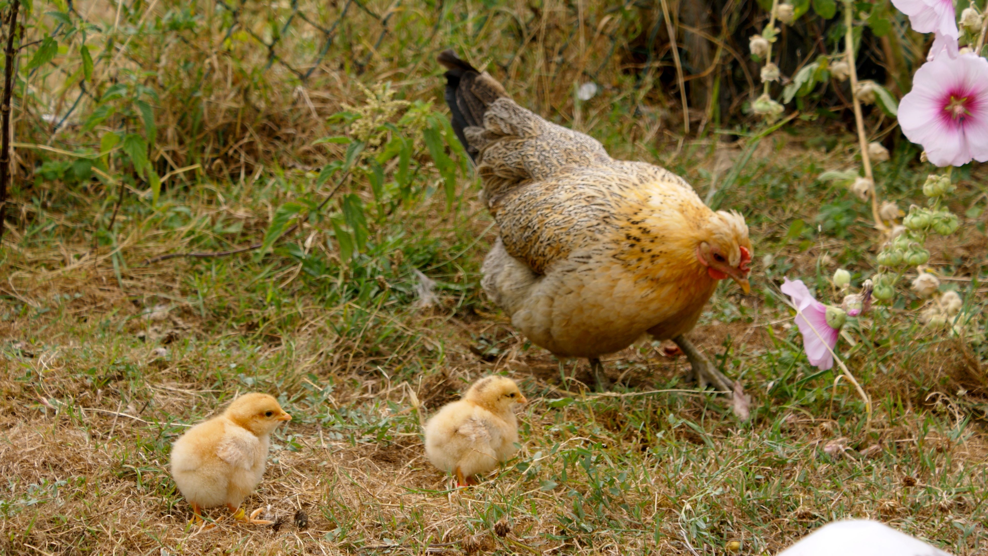 poule huppée et ses poussin orpington fauve
