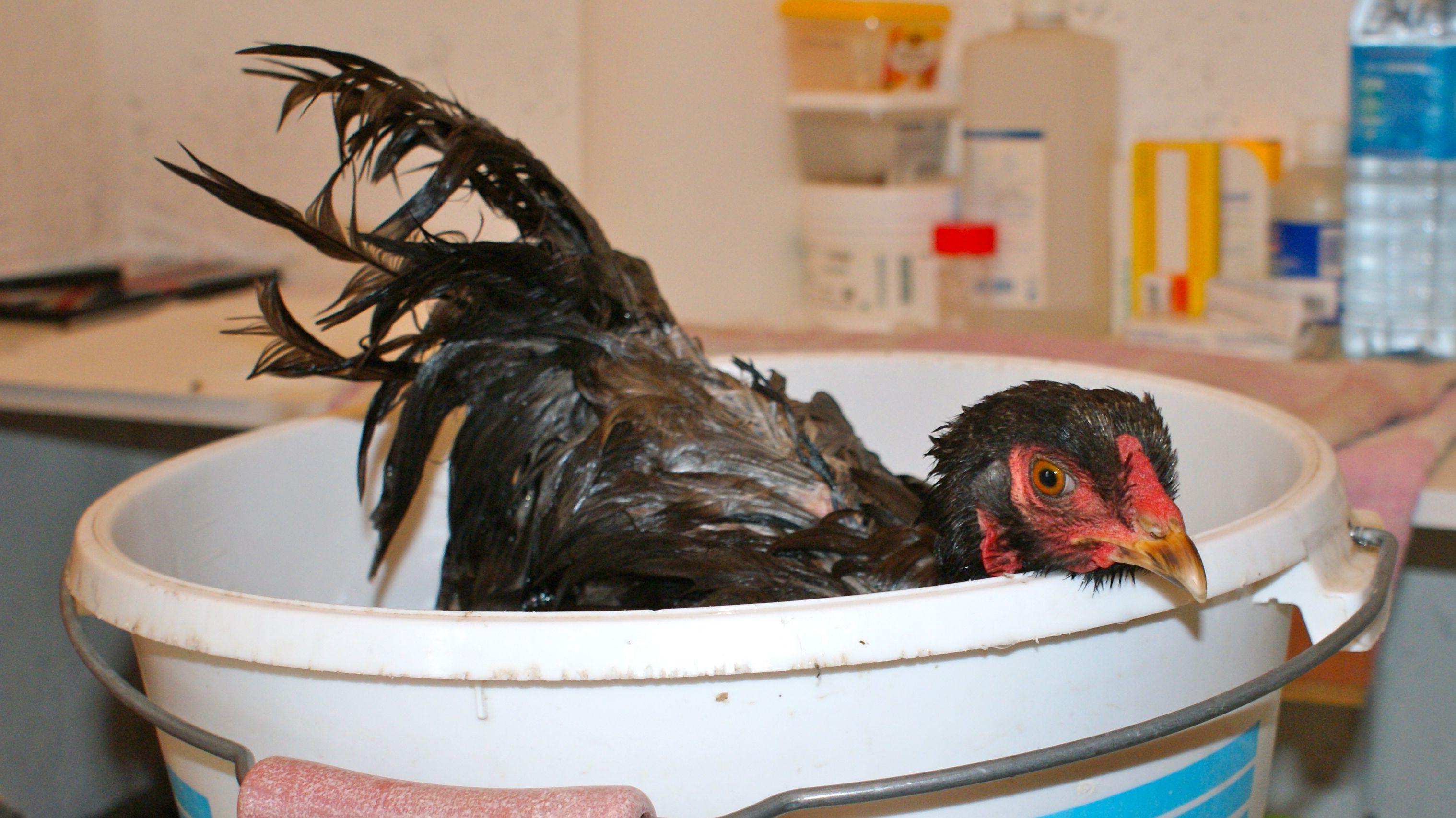 Poule dans son bain