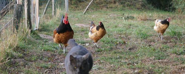 coq et poules vorwek