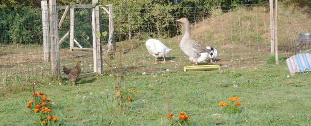 oie, cane et canard