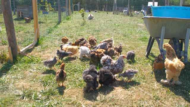 poules et poulets d'ornement