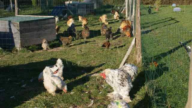 les poules de brahmaland