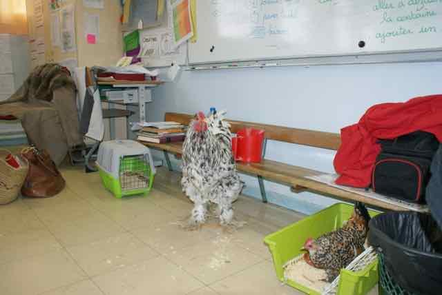 projet pédagogique : des poules à l'école