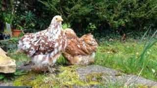 Les poulettes pékin mille fleur en vacances dans le jardin