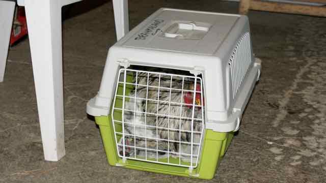 poule brahma en cage de transport pour un transfert dans de bonnes conditions