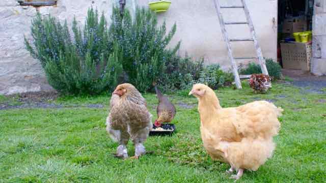 poule ardennaise naine dorée au goûter, devant une jeune brahma perdrix et une orpington fauve