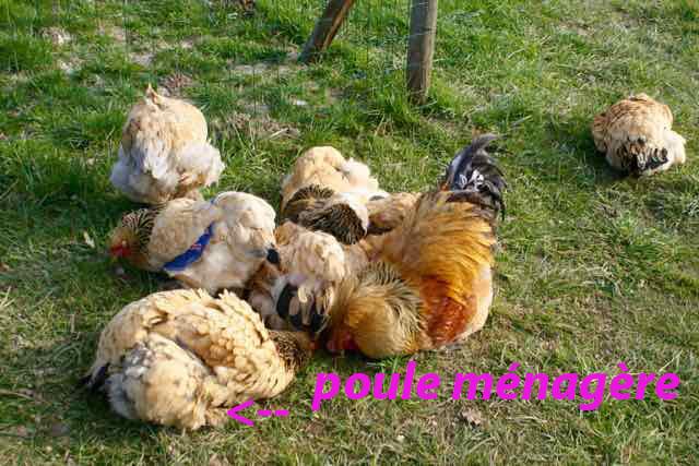 poules brahmas fauves faisant poussière de concert !