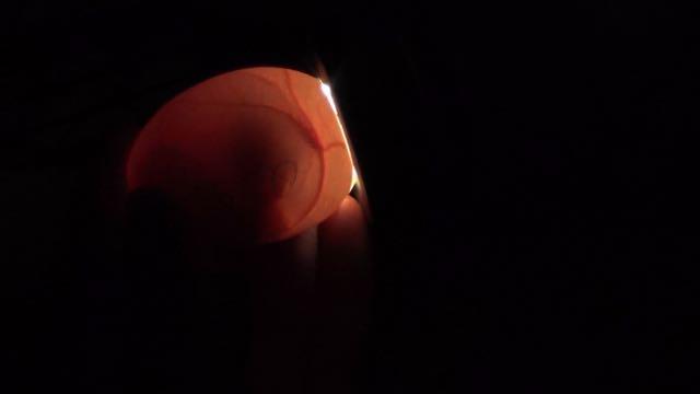 embryon oeuf de poule à 13 jours