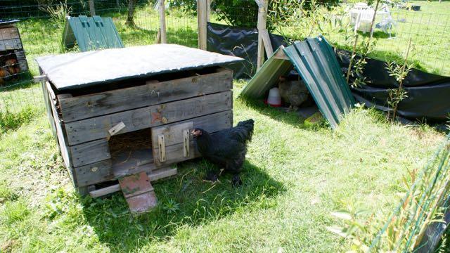 zone d'ombre indispensable au bien être des poules l'été