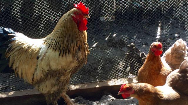 Coq et poules à Palawan