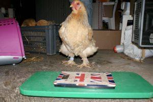 matériel pour peser une poule facilement