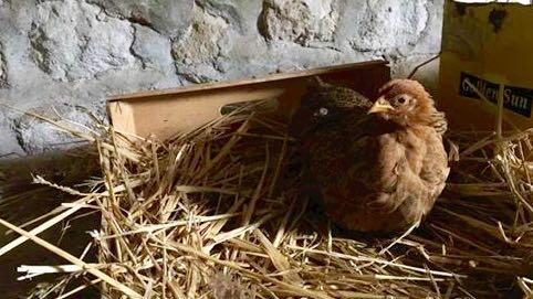 Zakki poussinette de trois mois, blessée aux deux pattes.... couchée dans son nid
