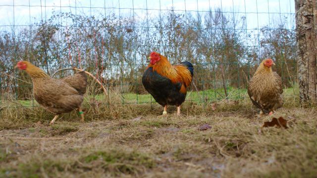 coq et poules wyandotte naine perdrix doré maillé