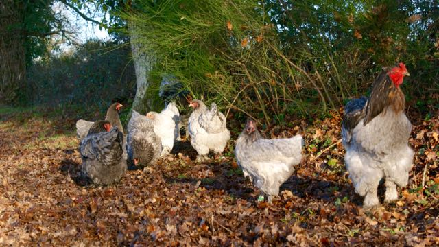 Les poules brahmas bleues du coq Nallan