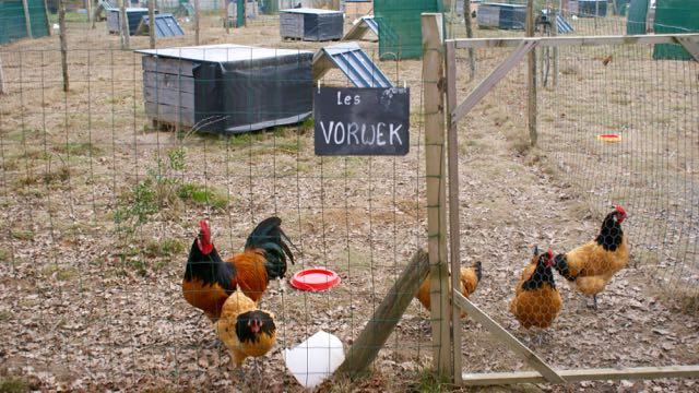 La famille de poules vorwerk