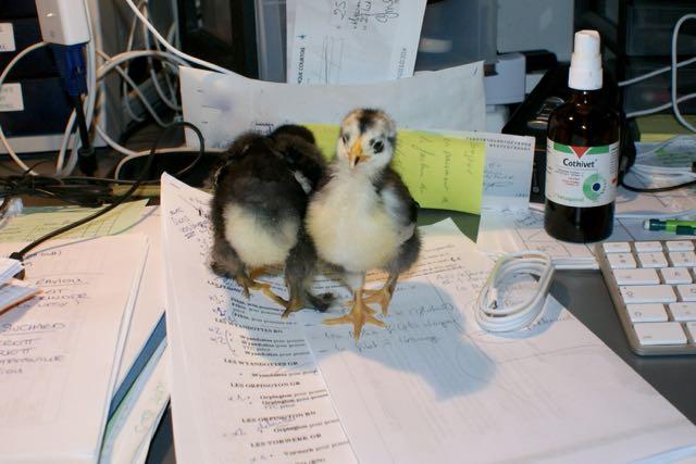 Anka studieux au bureau !