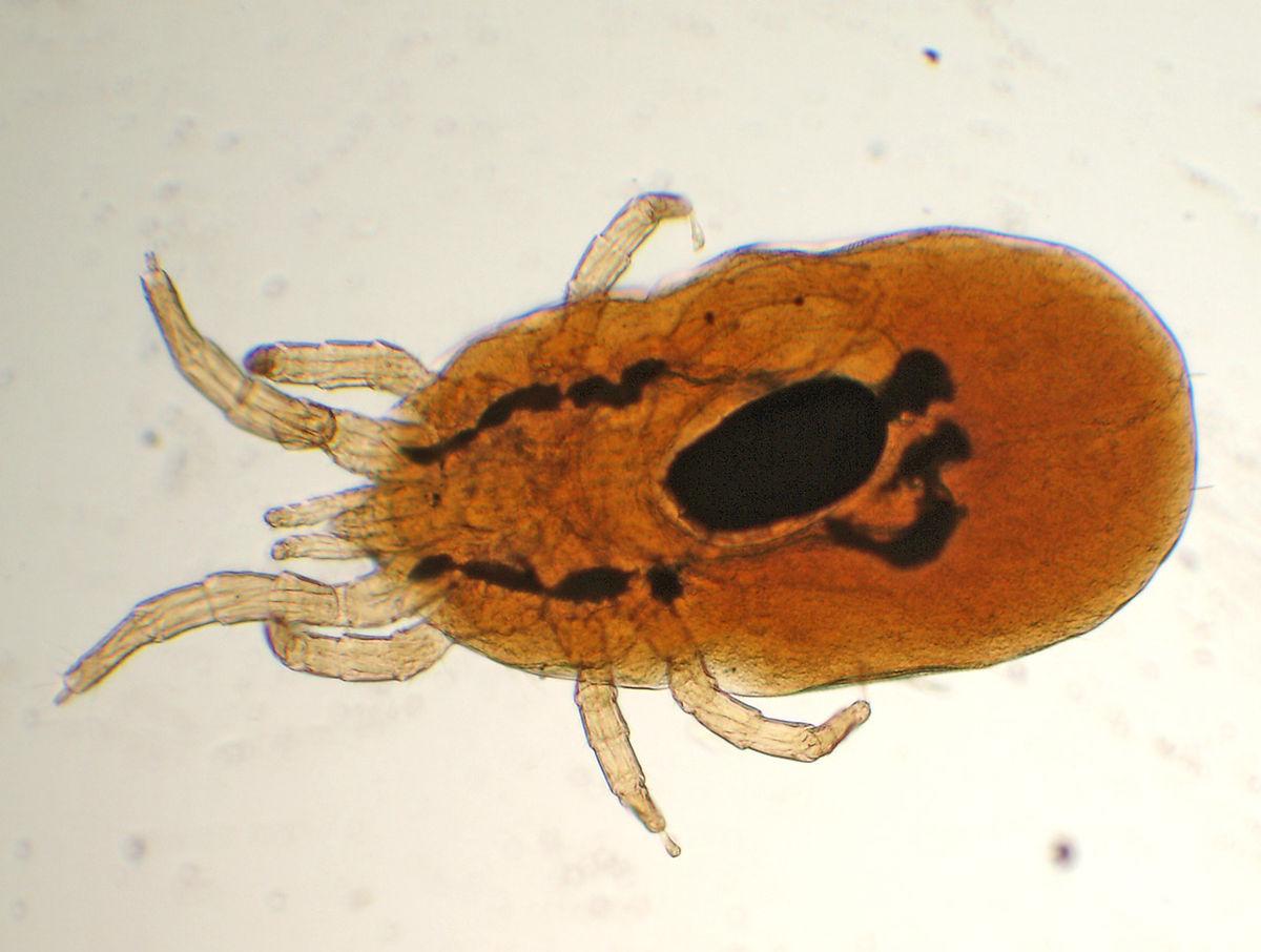 Dermanyssus gallinae ou pou rouge des volailles
