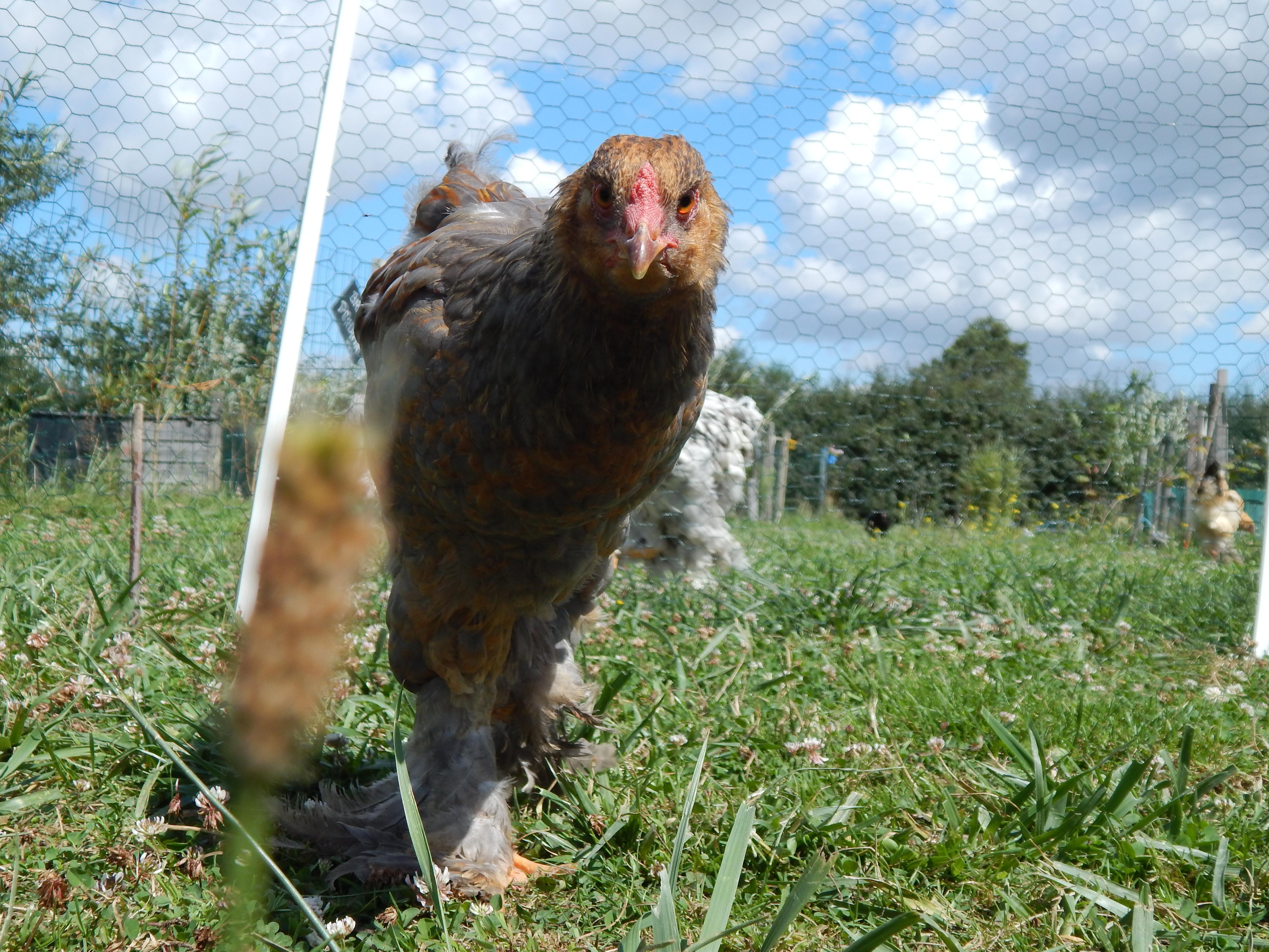Lanzo : jeune coq brahma perdrix maillé doré
