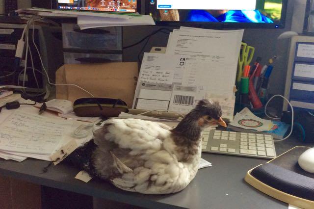 Poussin P'Ang au bureau en pleine réflexion sur ces projets d'écriture
