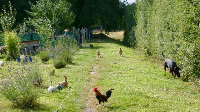 Brahmaland, vue d'ensemble du jardin des poules