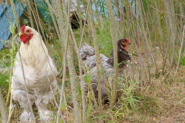 Fraggle poule brahma bleue, avec son coq Extra, brahma splash, dans la forêt d'osiers