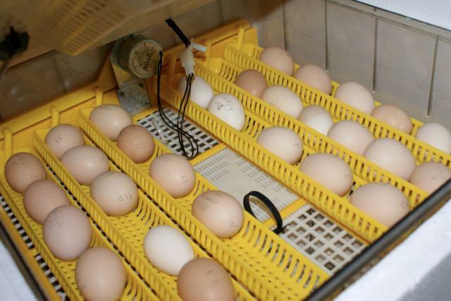 Les œufs en cours d'incubation dans la couveuse