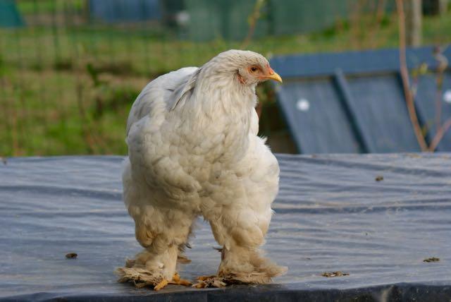poule brahma splash en petite forme