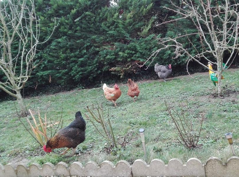 poules pondeuses dans le jardin