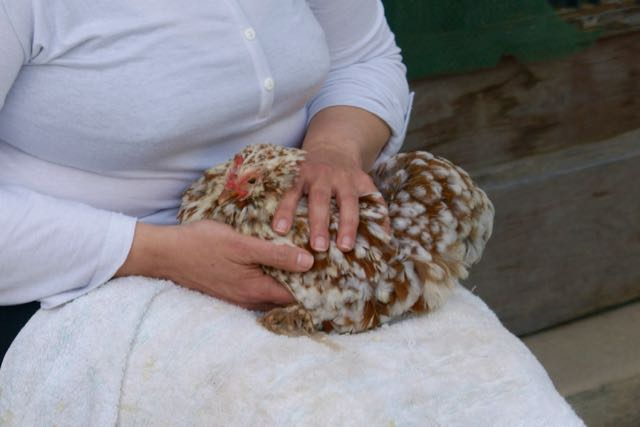 Soins shiatsu sur notre poule pékin Lino