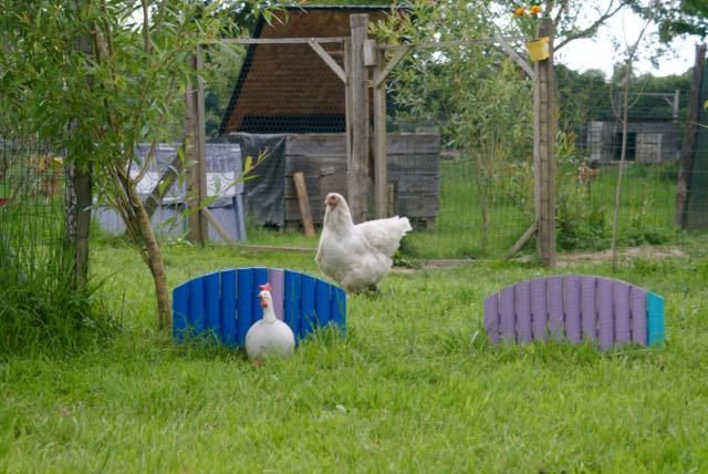 Citrus, poulette brahma splash dans le jardin des poules