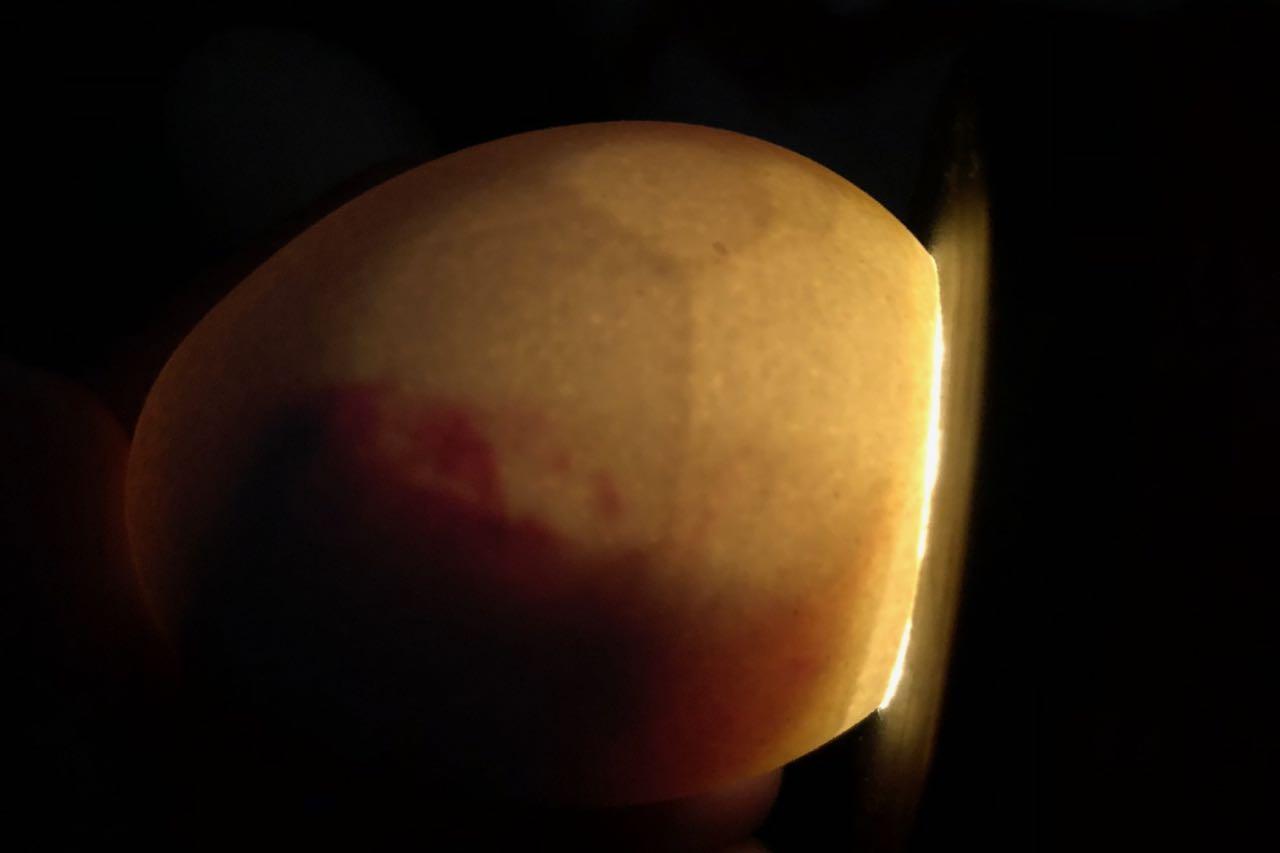 Oeuf avorté vers 16-17 jours d'incubation