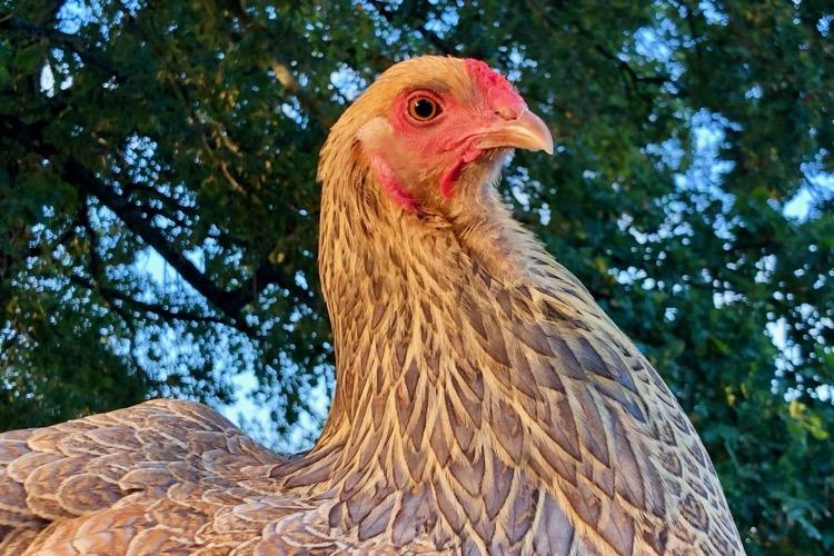 portrait de miss Académie, poule brahma perdrix maillé doré bleu