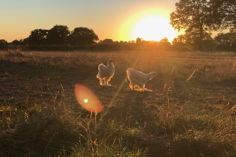coucher de soleil sur la prairie avec deux poulettes brahma en contre jour